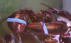 Live Lobster Las Vegas